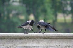 在湖Ada Ciganlija的银行的两只乌鸦在贝尔格莱德 免版税库存照片