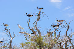 在湖Coogee的涉水鸟入侵 库存照片