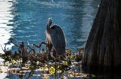 在湖Eola岸的白鹭  免版税图库摄影