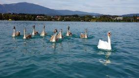 在湖Faaker克恩顿州奥地利的天鹅家庭 图库摄影