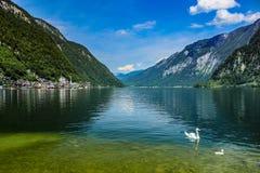 在湖Hallstatt的两只白色天鹅 免版税库存照片