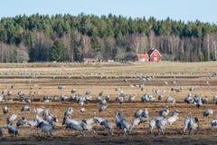 在湖Hornborga的起重机在瑞典 免版税图库摄影