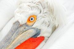 在湖Kerkini注视细节达尔马希亚鹈鹕, Pelecanus crispus,希腊 与开放翼的Palican,寻找动物 野生生物场面f 免版税库存照片