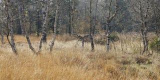 在湖Luitel自然储备的桦树, Belledonne山 免版税库存图片