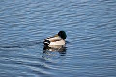 在湖Manawa的野鸭 图库摄影