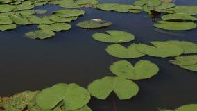 在湖Manzherok的美丽的荷花。阿尔泰边疆区。 影视素材