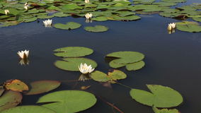 在湖Manzherok的美丽的荷花。 影视素材