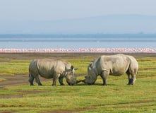 在湖nakuru,肯尼亚的犀牛 免版税库存照片