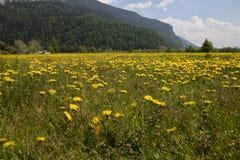 在湖Resia Reschen附近的黄色花走和自行车游览在南蒂罗尔意大利 山阿尔卑斯 免版税库存照片