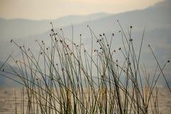 在湖Tota边缘的仓促  免版税库存图片