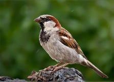在湿分支栖息的麻雀男性 免版税图库摄影