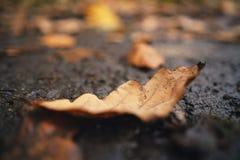 在湿地面的下落的橡木秋天叶子 图库摄影