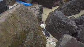 在湿岩石的海潮虫在岸关闭 甲壳纲和昼夜平分点Oniscidea,等足目海昆虫  海洋植物群 股票录像