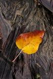 在湿日志的黄色叶子 免版税库存照片