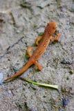 在湿森林道路的红色Eft蝾螈 免版税图库摄影