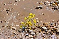 在湿沙子的花黄色 免版税库存照片