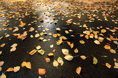 在湿沥青的下落的黄色叶子 库存图片