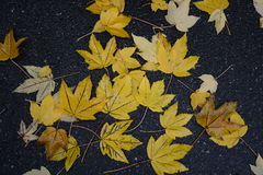 在湿沥青的黄色叶子 库存图片