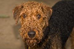 在湿的狗之外的大狗狗 库存照片