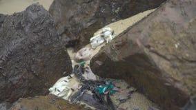 在湿石头的海潮虫在岸关闭 甲壳纲和昼夜平分点Oniscidea,等足目海昆虫  海洋植物群 影视素材