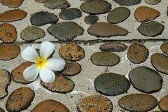 在湿石小径的白色赤素馨花花对温泉 库存图片