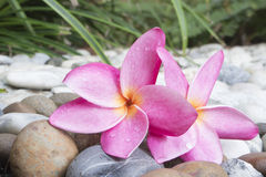 在湿石头的桃红色羽毛 库存图片