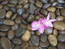 在湿石头的桃红色羽毛 库存照片