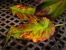 在湿背景的两片秋天五颜六色的叶子 库存图片