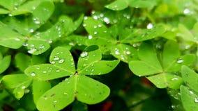在湿自然的野生三叶草 免版税库存图片