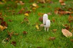 在湿草的粗野的墨水盖帽伞菌 图库摄影