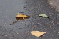 在湿路的槭树叶子 免版税图库摄影
