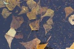 在湿路的槭树叶子 图库摄影