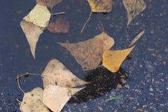 在湿路的槭树叶子 库存照片