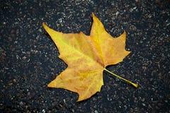 在湿路的黄色橡木叶子 免版税图库摄影