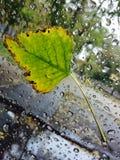 在湿玻璃垂直的下落的叶子 免版税库存照片