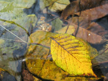在溪的叶子 库存图片
