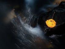 在溪的黄色打破的桤木叶子 在凹下去的玄武岩石头的下落的叶子在被弄脏的急流 免版税图库摄影