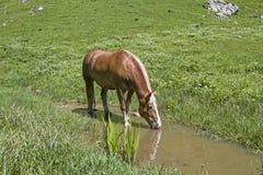 在溪的Haflinger马 免版税库存图片