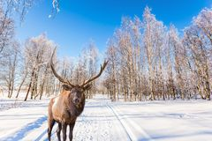 在滑雪路的壮观的驯鹿 免版税库存照片