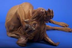 在滚的狗 免版税图库摄影