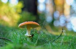 在满地露水的草的伞菌 库存图片