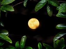 在满月的绿色爬行物植物在晚上 库存照片