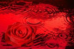 在滴下红潮的红色玫瑰 图库摄影