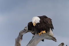 在漂泊木头栖息的北美洲白头鹰 库存图片