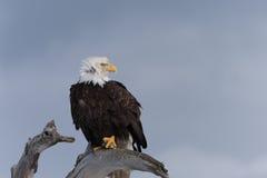在漂泊木头栖息的北美洲白头鹰 库存照片