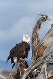 在漂泊木头栖息的北美洲白头鹰 免版税图库摄影