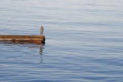在漂泊木头的格里布鸟 免版税库存图片