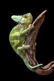 在漂流木头的变色蜥蜴 库存照片