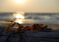 在漂流木头的海草 免版税图库摄影