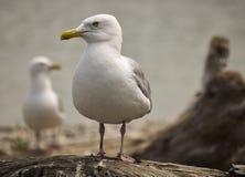 在漂流木头看栖息的海鸥 库存图片
